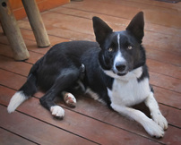 boder collie rescue dog